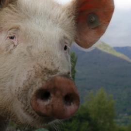 Alertan a viajeros por Fiebre Porcina Africana