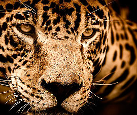 El jaguar, animal sagrado
