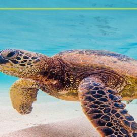 Acompaña a la tortuga marina verde en un recorrido virtual