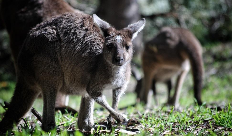Africam Safari te invita a su livestreaming con canguros de Australia