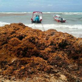 Comienzan labores para mantener las playas de Cancún libres de sargazo