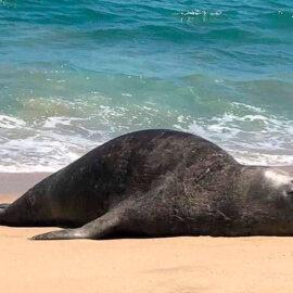 Elefante marino que llegó a playas de Nayarit ya tiene nombre