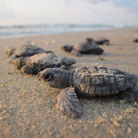 Tortugas marinas rompen récord de desove en Cozumel