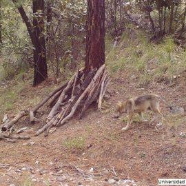 Nacen dos cachorros de lobo mexicano en Chihuahua