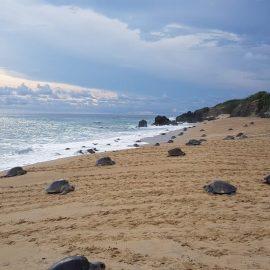 Tortugas marinas llegan a desovar a playas de Michoacán