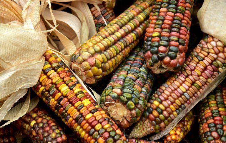 Datos curiosos sobre el maíz que quizás no conocías