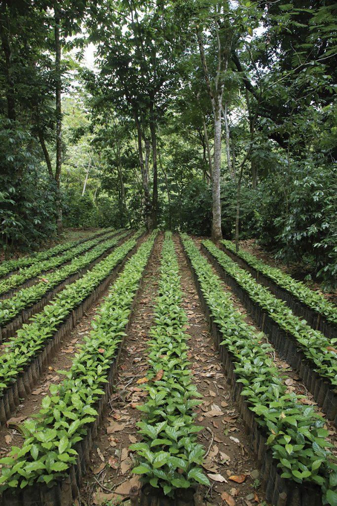 cultivo-cafetales-arboles