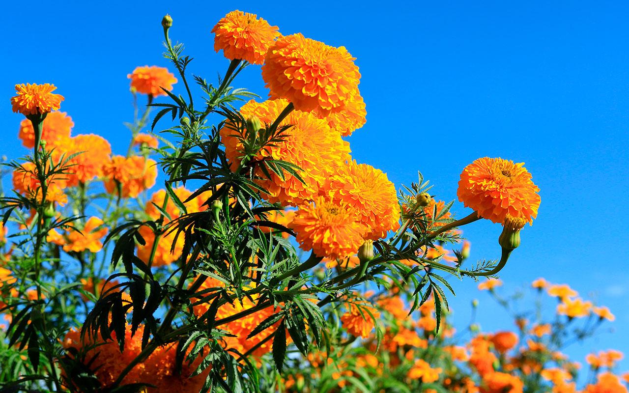 cempasuchil-flor