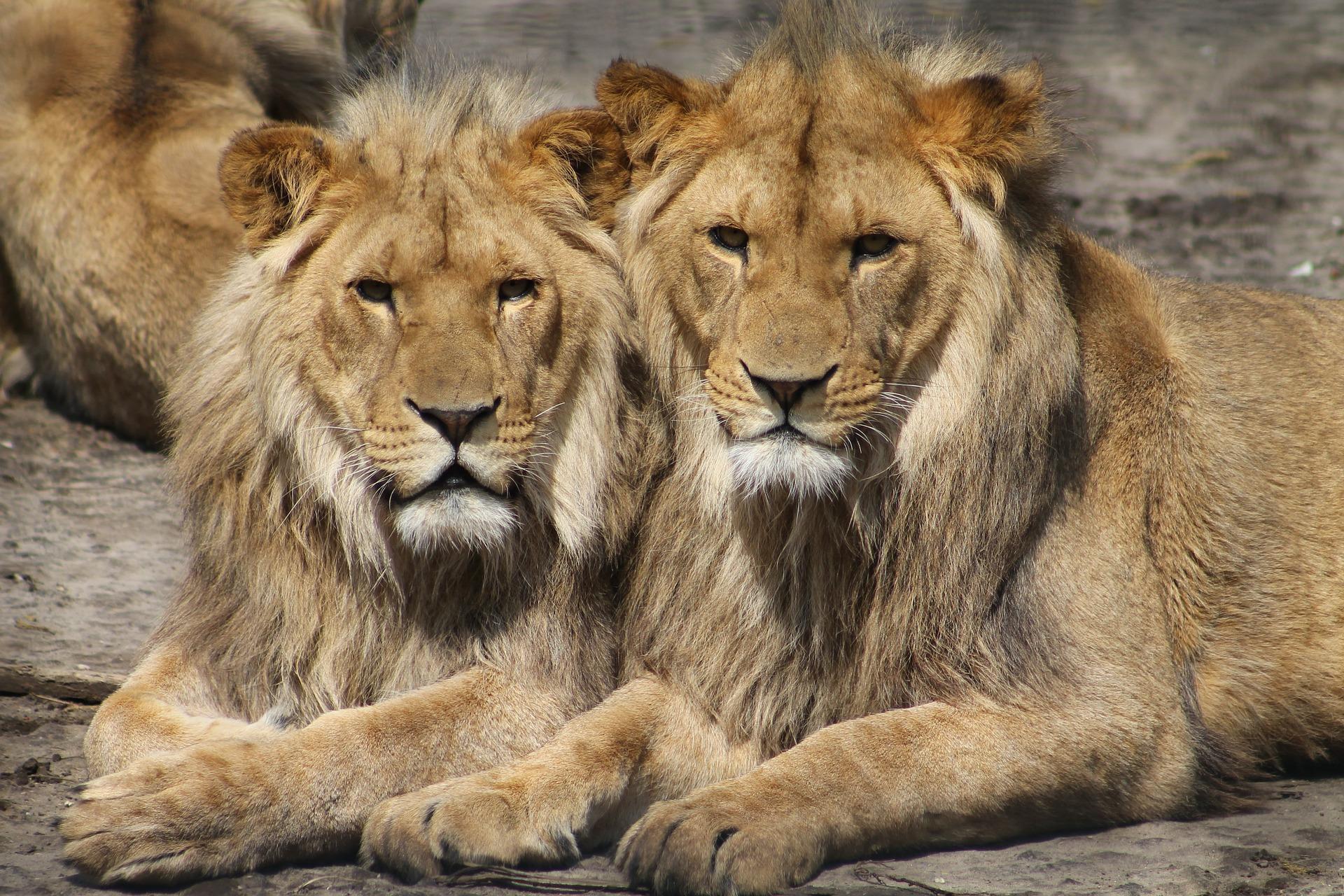 cría de leones en cautiverio
