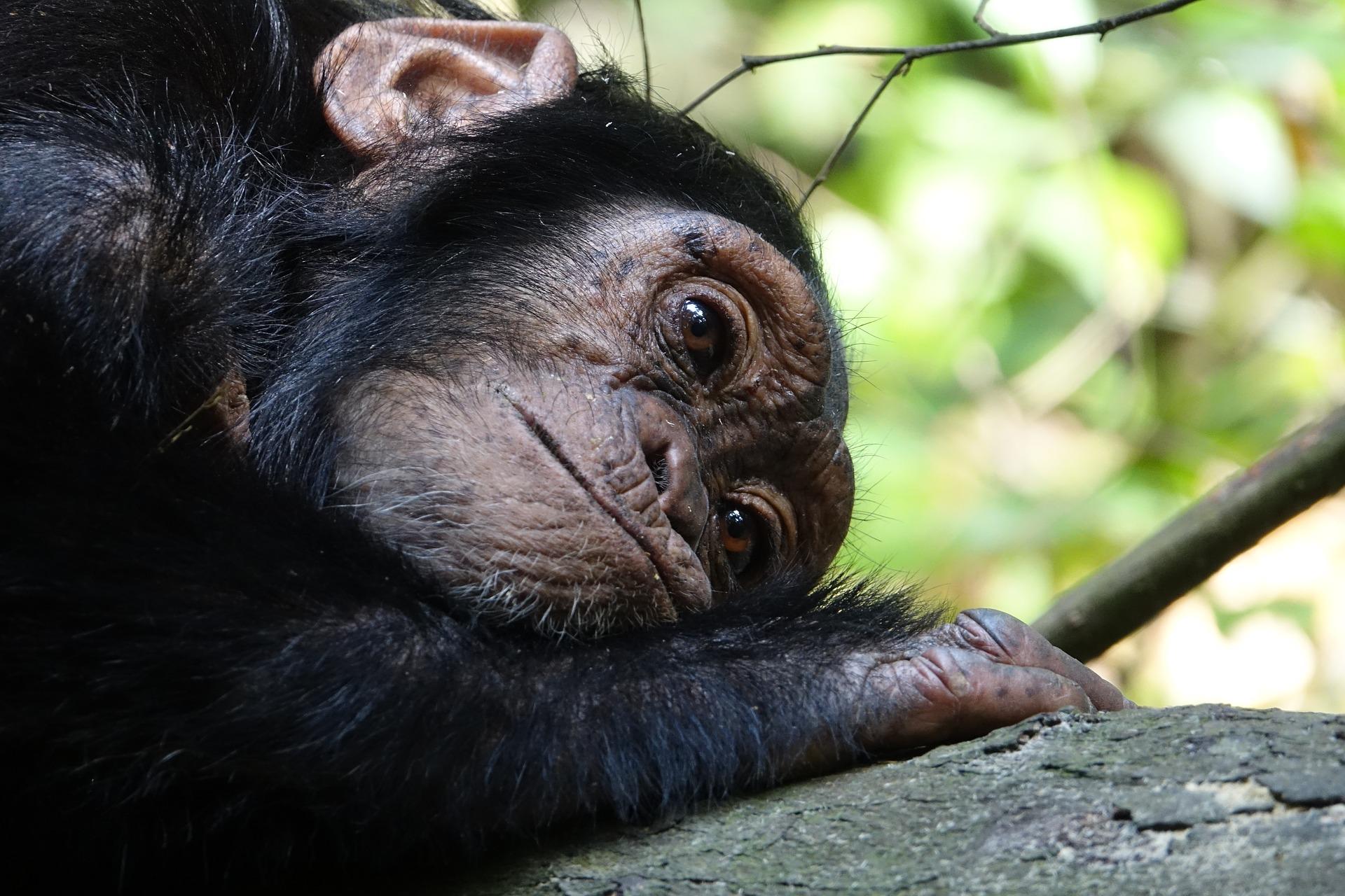 chimpances habitat natural