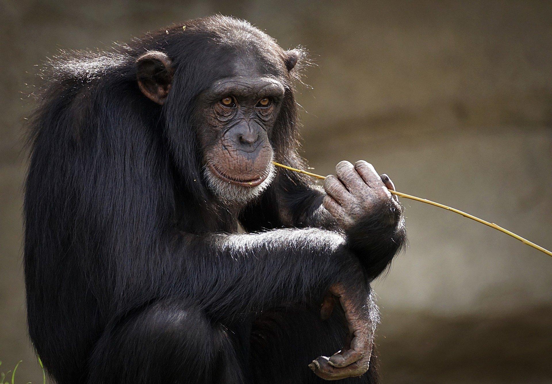 chimpances santuarios africa