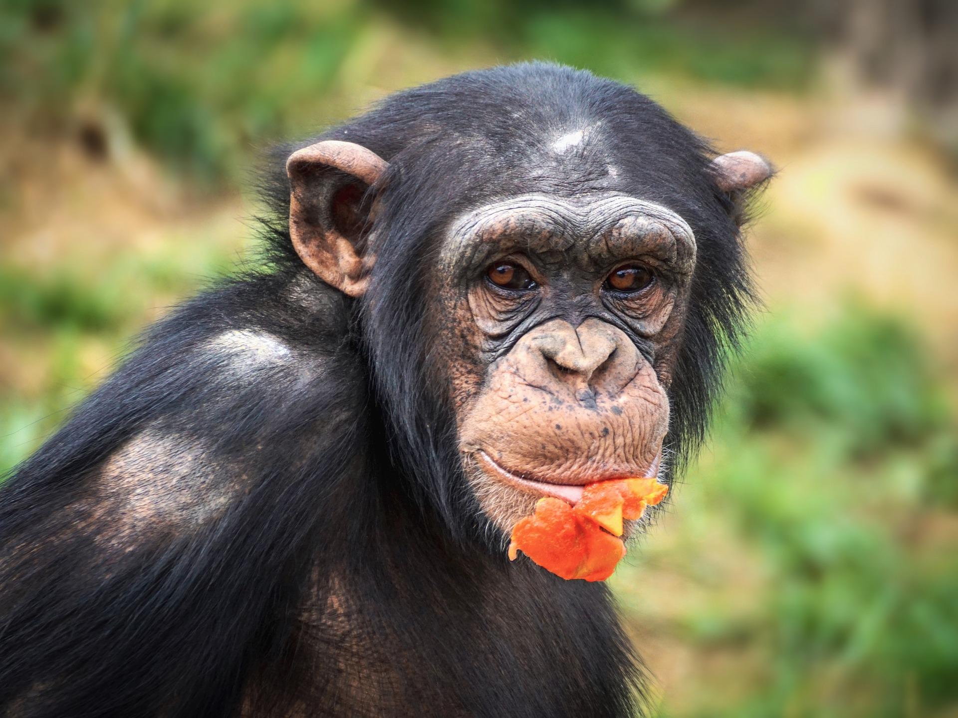 comportamiento de los chimpances