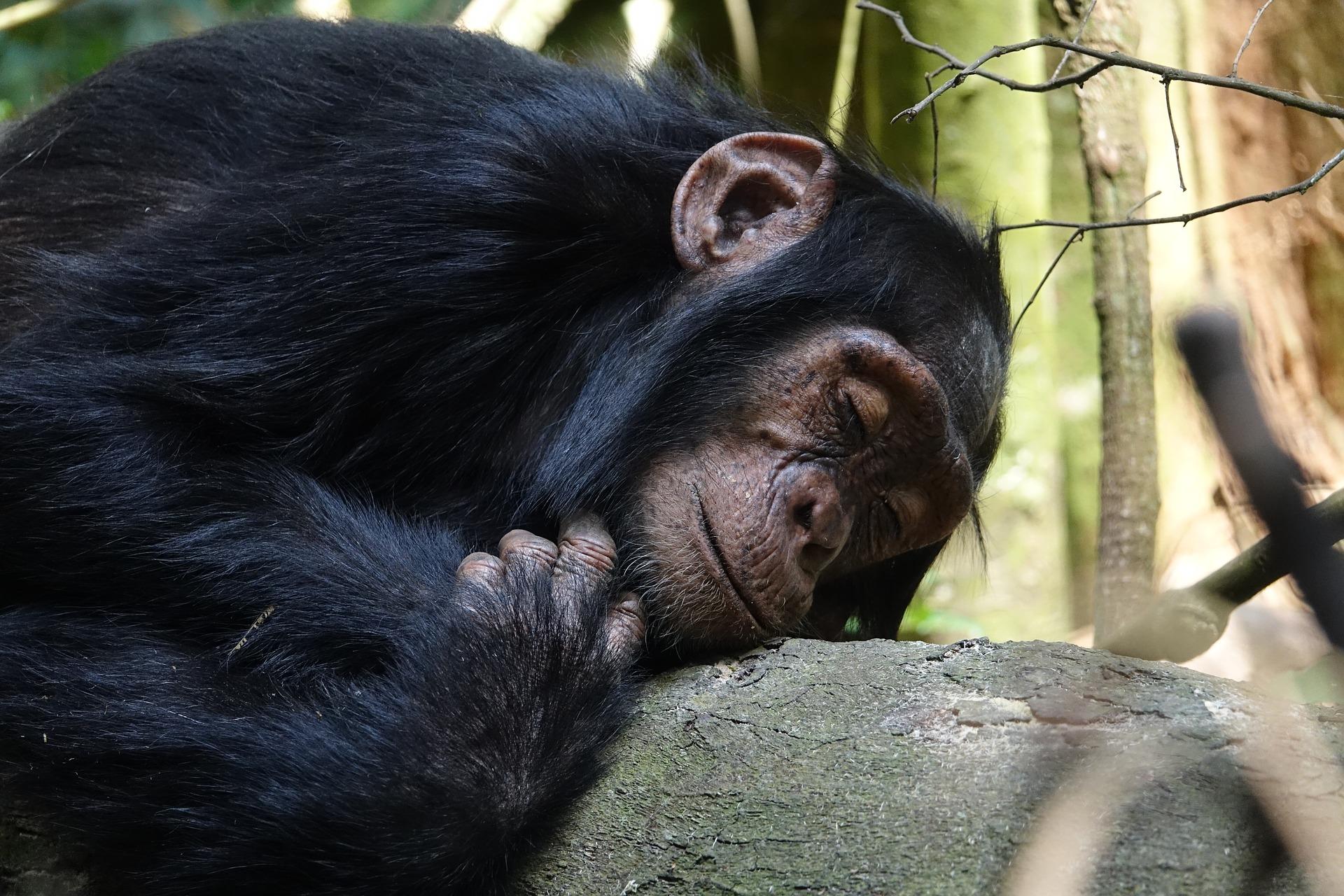 dia mundial del chimpance