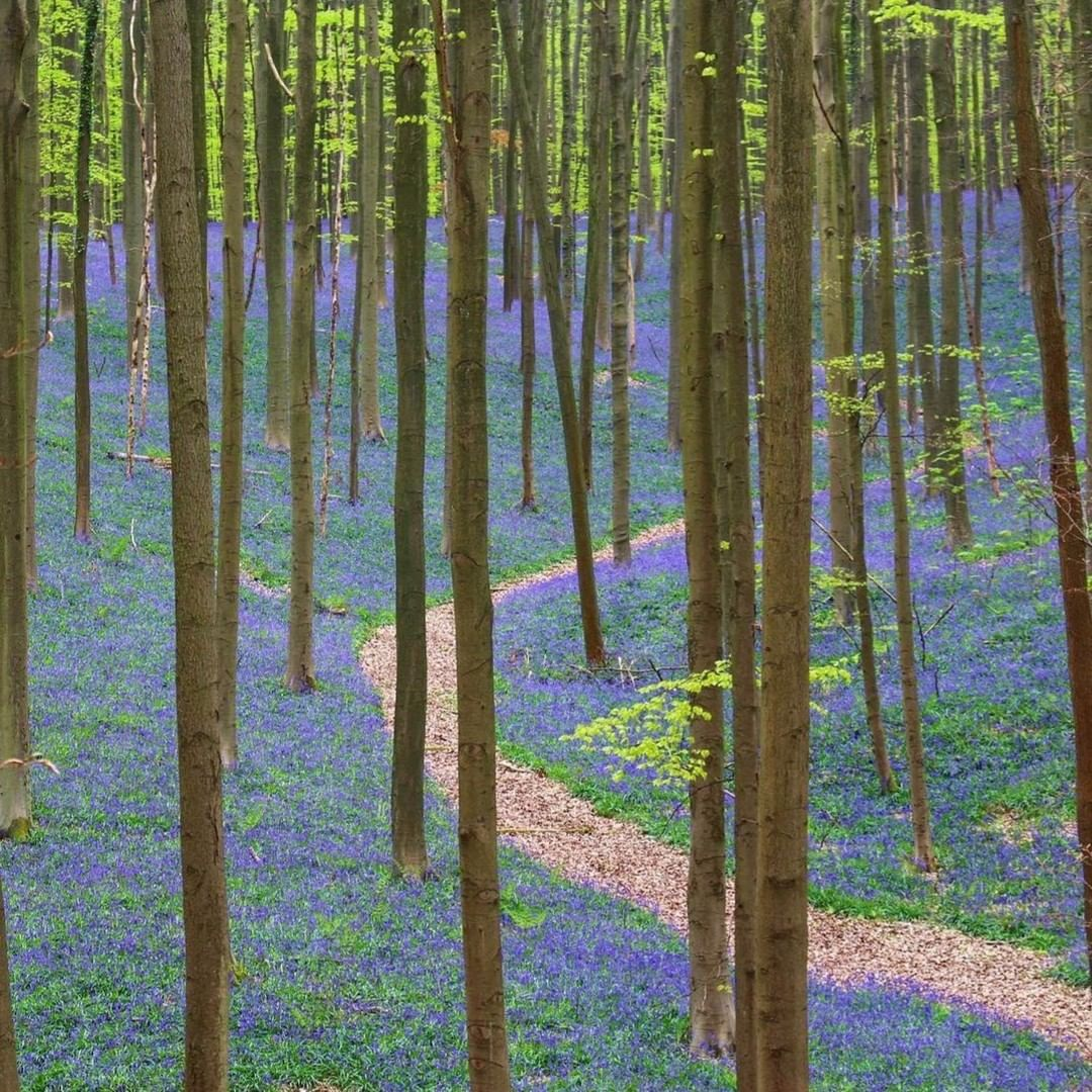 bosque azul hallerbos europa