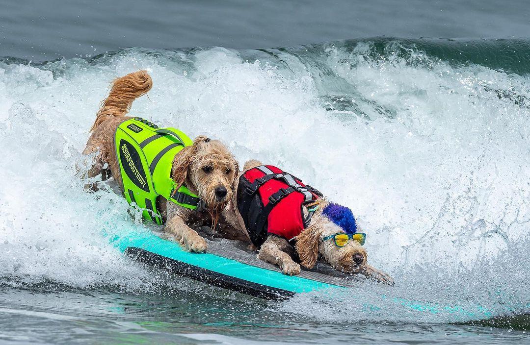 perritos surfistas shampionships