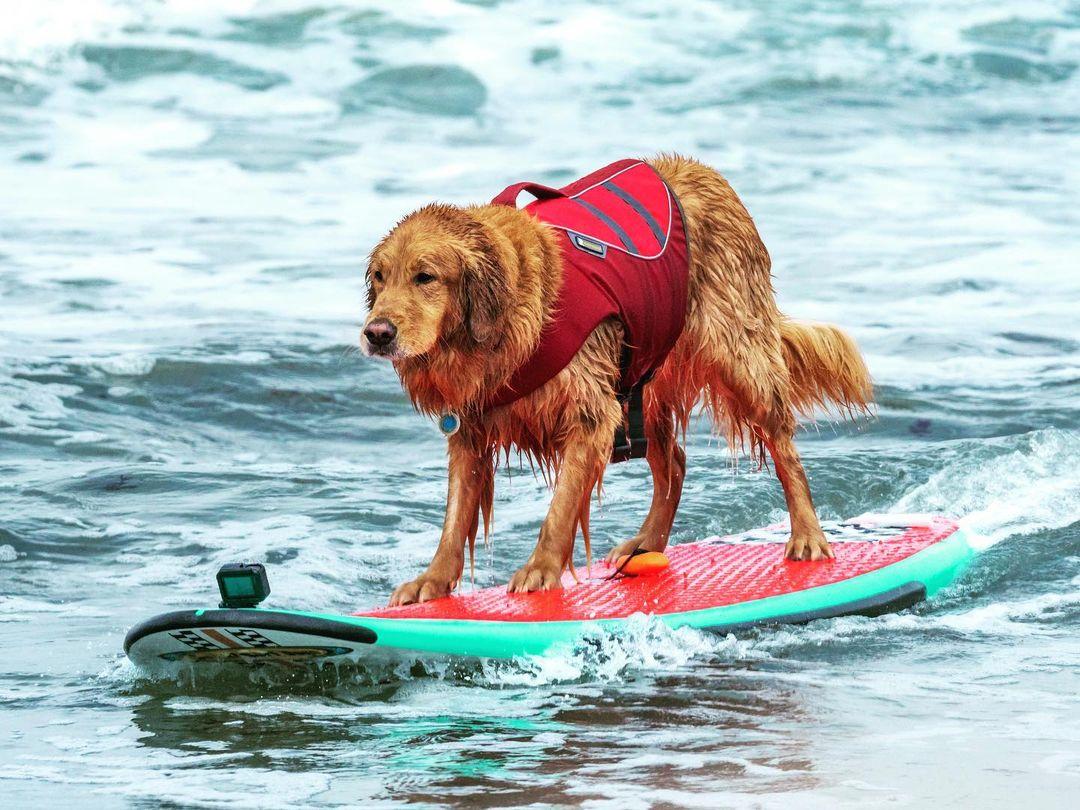 perritos surfistas estados unidos